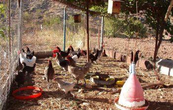corral de gallinas