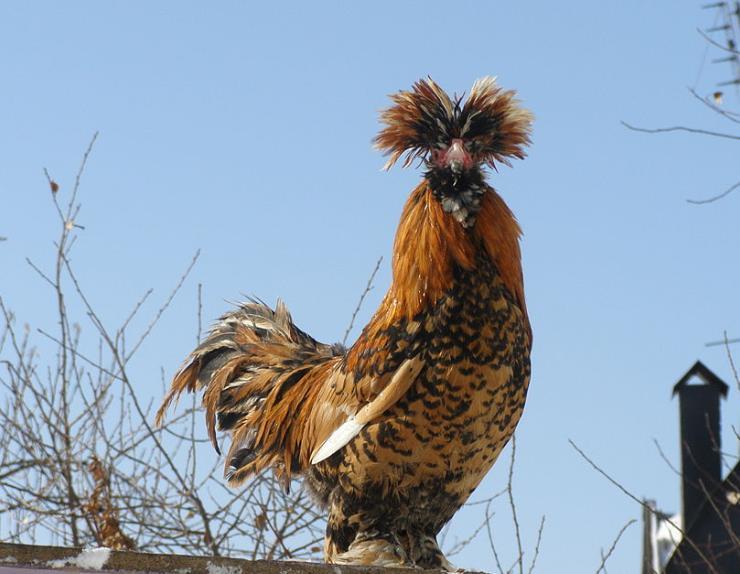 5 Razas de gallinas copetonas finas