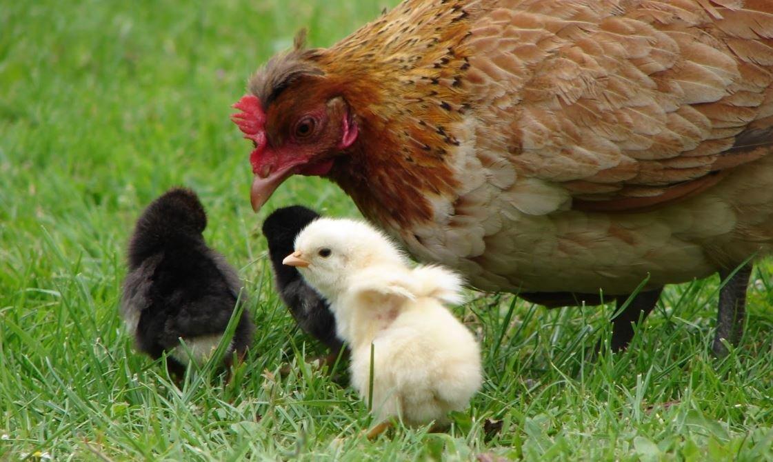 pollos bebes enfermos