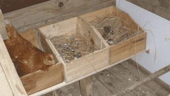 nidos de gallina