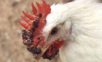 viruela en pollos