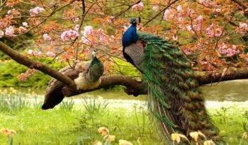 pareja de pavones