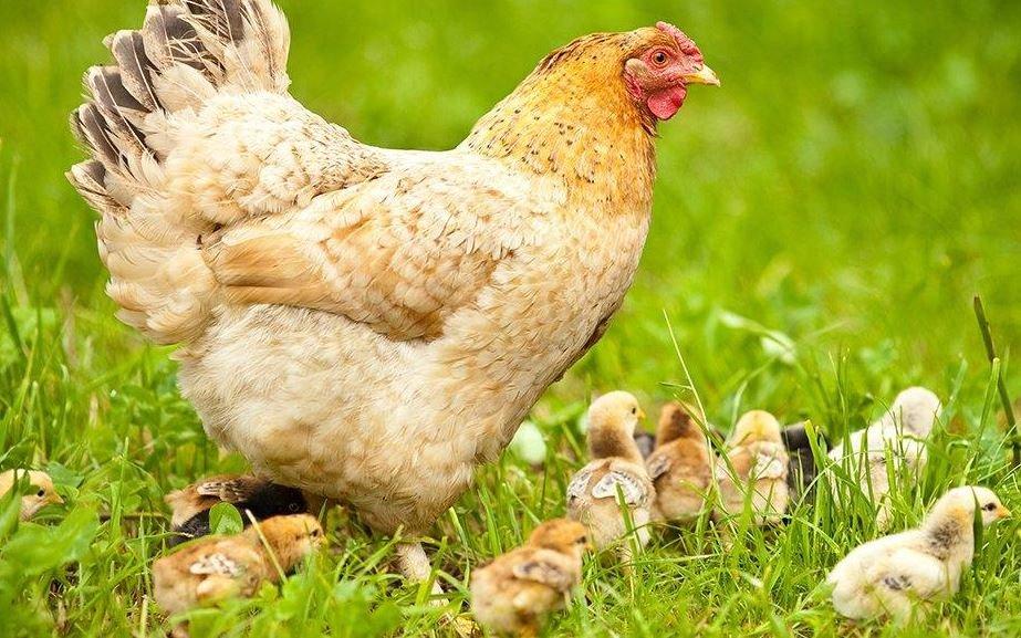 Lista de las mejores vitaminas para las gallinas