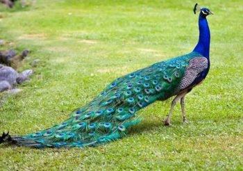 pavo de la india