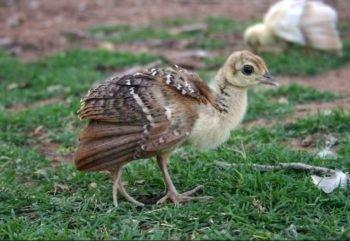 como criar pavo reales recién nacidos