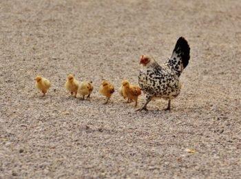 razas de gallinas enanas