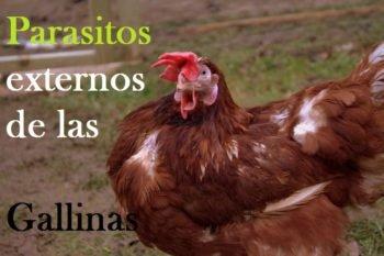 plagas externas de gallinas