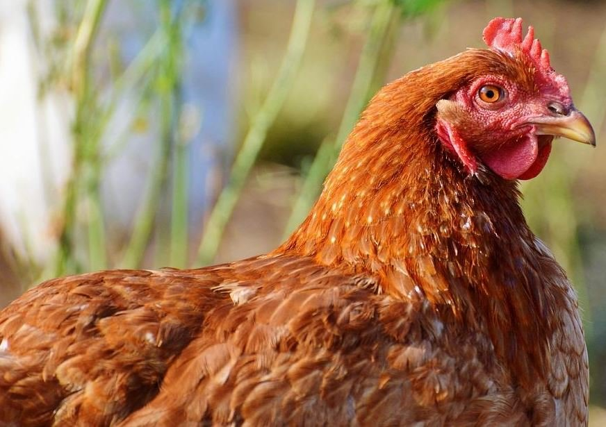 5 Remedios Caseros Para Piojillo En Aves Faciles Y Efectivos