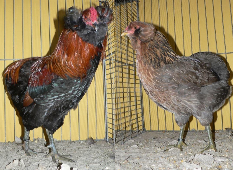 Gallina Araucana o Mapuche características, huevos azules, crianza y mas