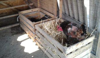 nidos de aves de corral