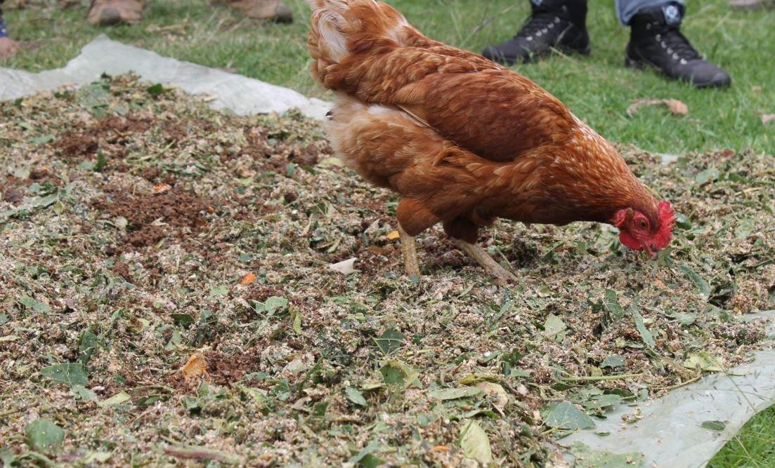 Concentrado casero para mejorar la alimentación de gallinas
