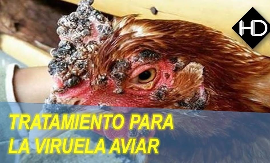 Remedios caseros para Viruela Aviar en Gallinas