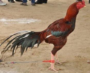 gallo de combate