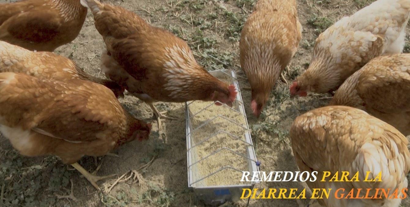 Remedios caseros para Gallinas con Diarrea
