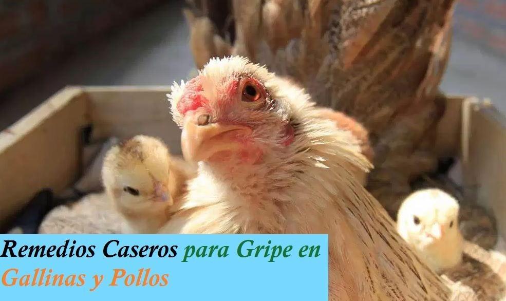Remedios Caseros para la Gripe de las Gallinas