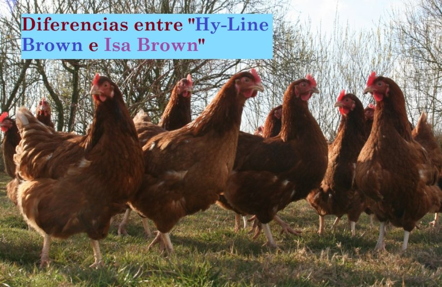 gallinas ponedoras brown