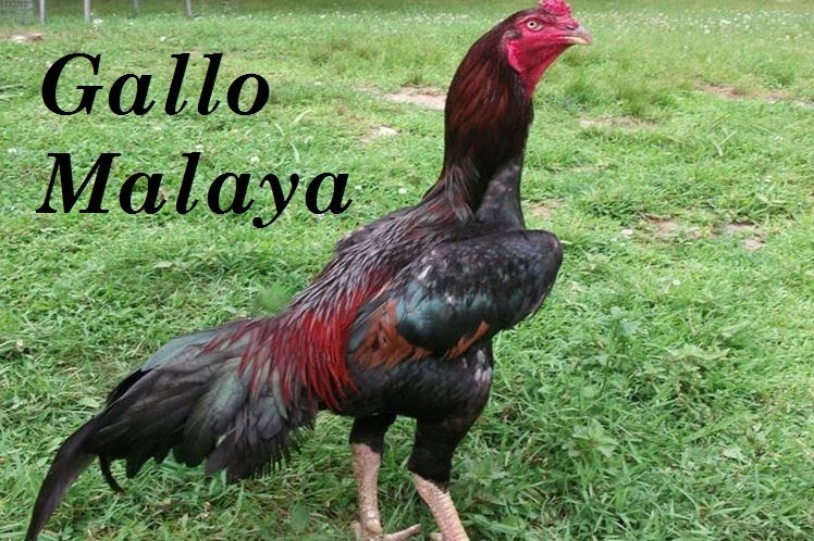 GALLO MALAYA