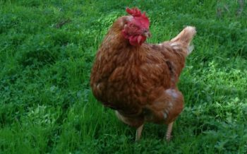 Gallina isa brown