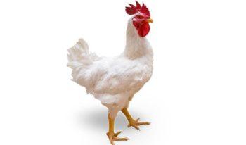 gallo de carne cobb