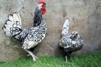 pollo sebright