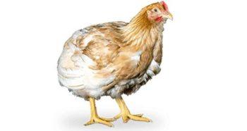 pollo de carne