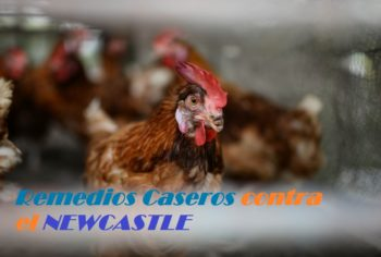 new castle remedio natural