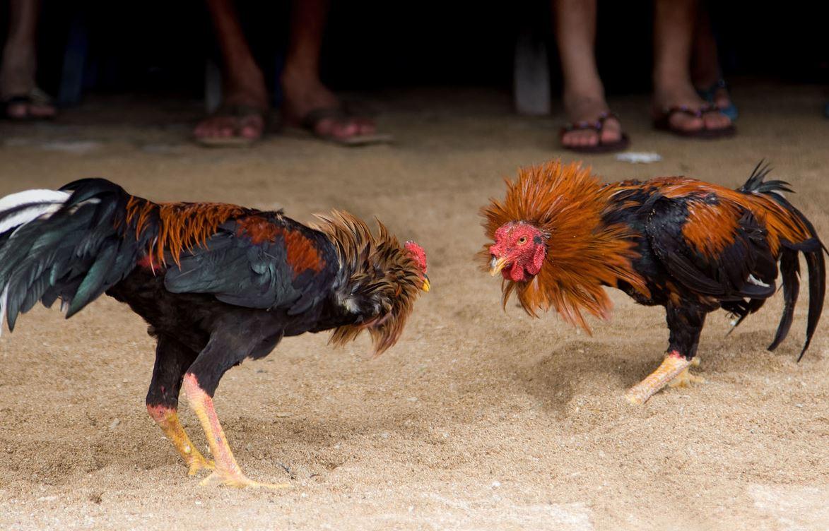 Gallos de Pelea Americanos