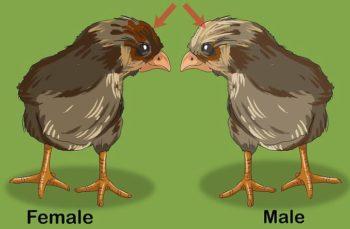 pollito macho y hembra