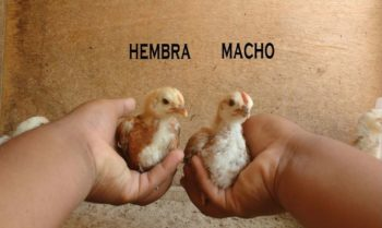 sexar pollos