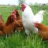 Aminoácidos para aves