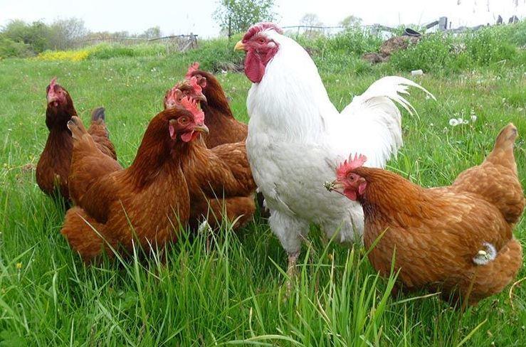 aminoácido para gallinas