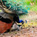 Reproducción de pavo real (paso a paso)