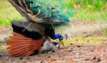 como reproducir el pavo real