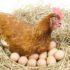 Como Aumentar la Producción de Huevos