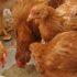 3 Piensos Caseros para Pollos de Engorde