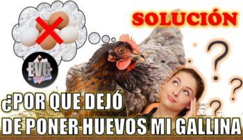 gallina no pone huevo