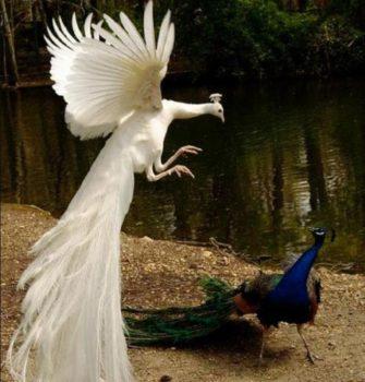 diferencia pavo real blanco y azul