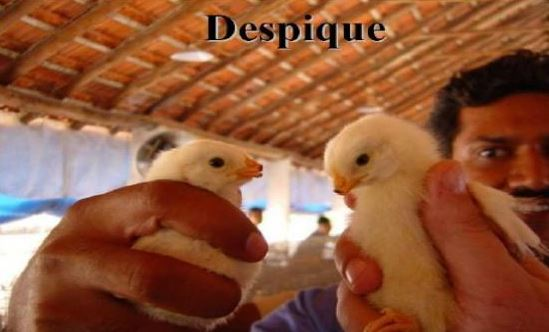 despique de gallinas
