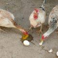 Mis Gallinas Comen Huevos (Causas y Soluciones)