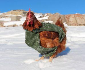Como hacer que las Gallinas Pongan en Invierno