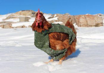 poner huevos en invierno