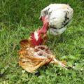 Canibalismo en Gallinas Ponedoras