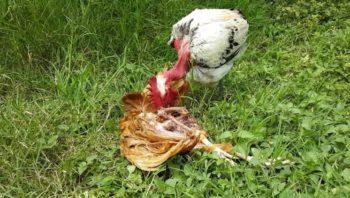picoteo entre gallinas
