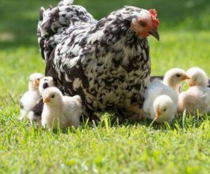 Cómo echar una gallina Fácilmente