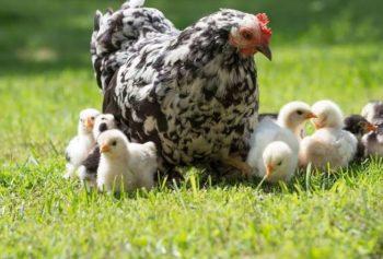 echar un gallina ponedora