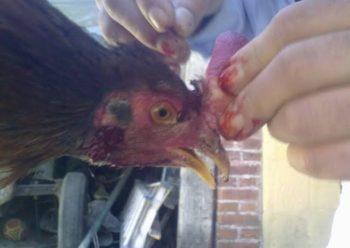 cortar cresta a gallos