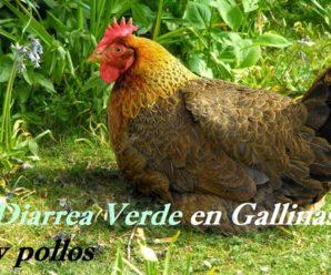 Diarrea verde en gallinas