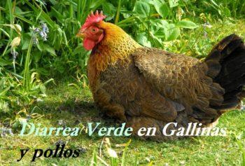 diarrea en gallinas