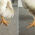 Perosis en Aves