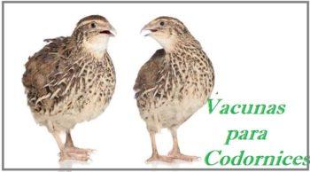 plan de vacunación en codorniz